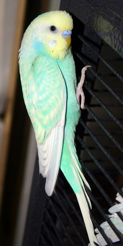 Rainbow Spangle: Yellowface skyblue opaline spangle American Parakeet x English Budgie cross (Toto)