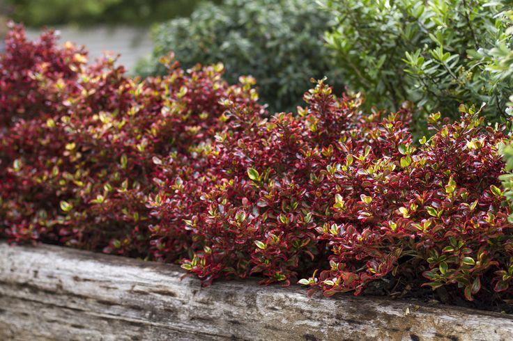Coprosma 'Ignite' • Mixed garden beds • Informal borders • Large containers • Dazzling colour for interest
