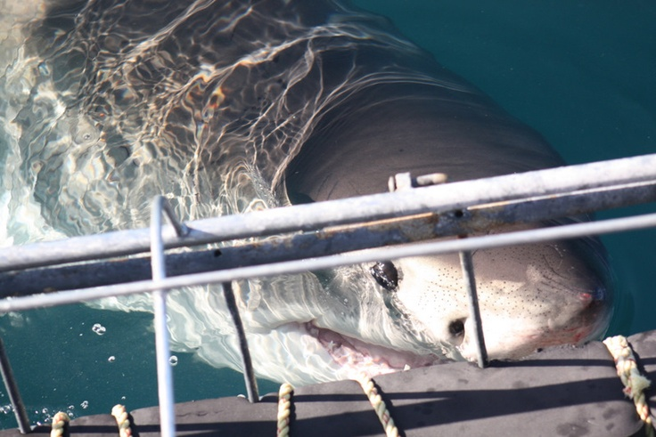 shark cage diving - what's life without a little suicidal fun