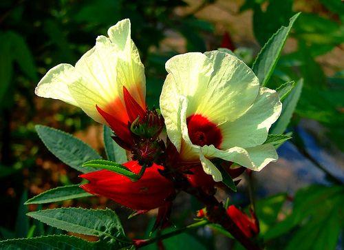 3 chén trà Hibiscus mỗi ngày giúp giảm huyết áp  http://thaomoc.com.vn/hibiscus/item/280-3-chen-tra-hibiscus-moi-ngay-giup-giam-huyet-ap-theo-bao-dan-tri.html