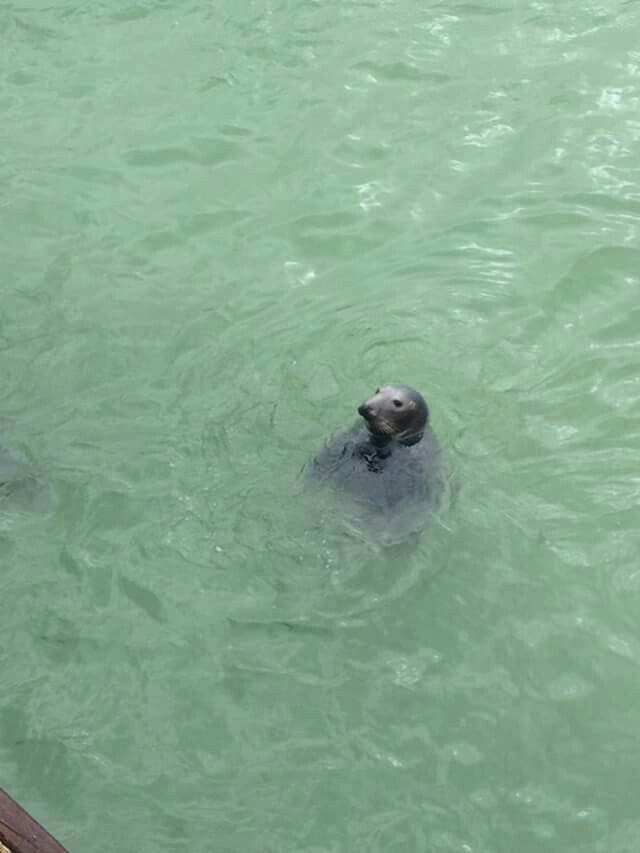 St ives seal