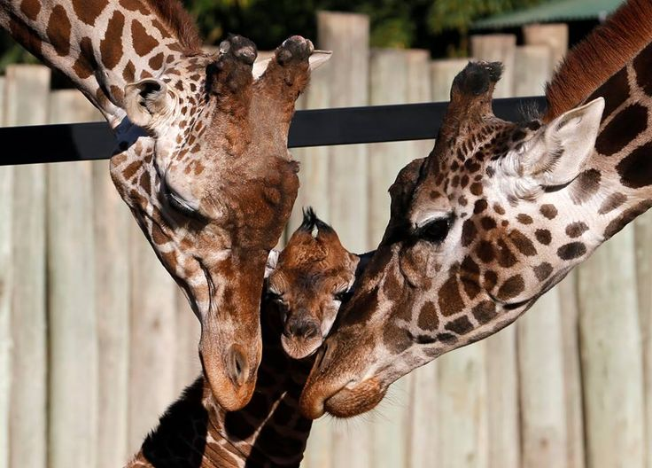 Good parents come in all stripes (and spots): this eight-day-old giraffe is seen with its parents Buddy and Jacky at a Buenos Aires zoo. The giraffe was one meter (3.2 feet) tall and 85 kilos (187 pounds) at birth. The zoo has launched a contest to find a name. ■ Photo: Enrique Marcarian  Tell us: what would you name this newborn? (It's a Boy)