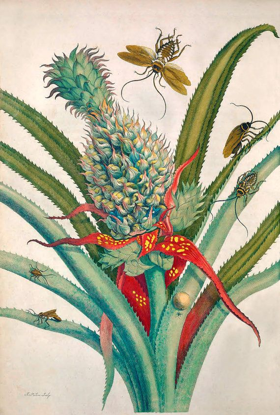 Pineapple with German and Australian Cockroaches, by Maria Sibylla Merian (Insects of Surinam, 1705)  AVAILABLE FORMATS: * Sheet Size: 17 x 22