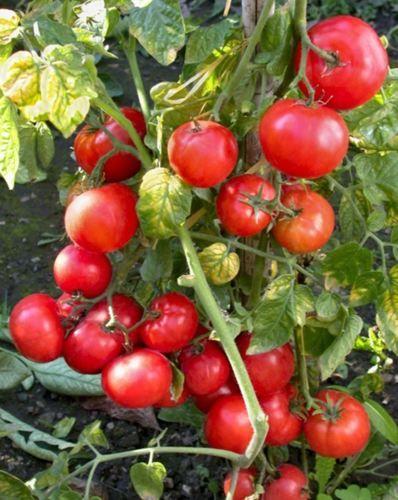Seeds-Red-Tomato-Betalyuks-Organic-Russian-Early-Heirloom-Variety