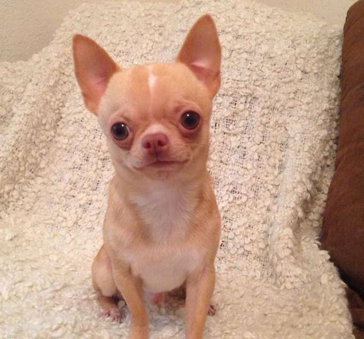 Chihuahua games for girls