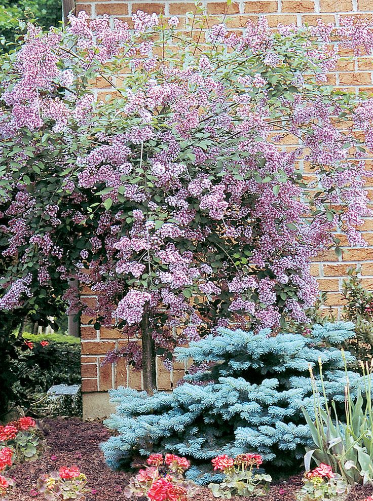 Weeping juliana 39 hers 39 lilac small delicately leaved for Small ornamental weeping trees