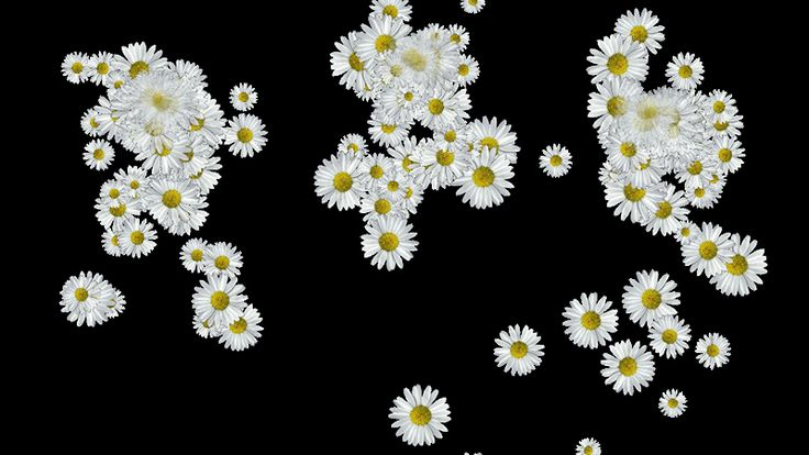 картинки анимации ромашки движущиеся на прозрачном фоне
