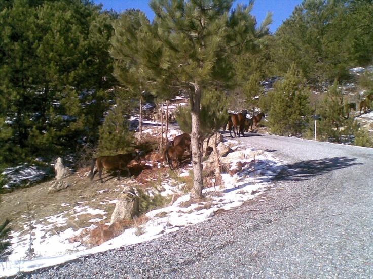 Spil Dağı'nda yaşayan yabani atlar. (Manisa, 2012)