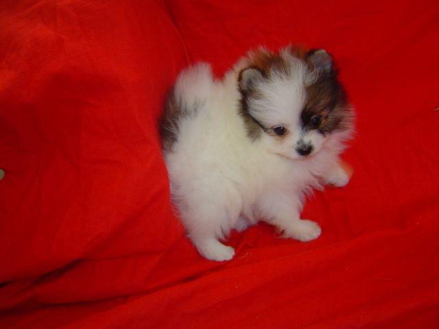 Toy Pomeranian. cute little fluffball