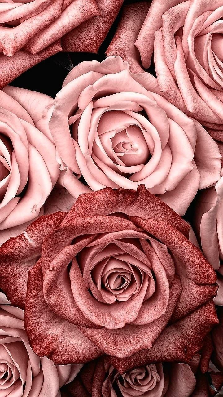 R O S E S Rose Gold Wallpaper Rose Wallpaper Flower Wallpaper