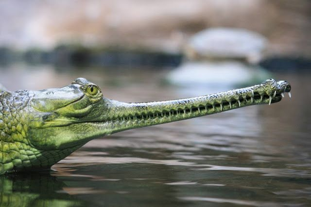 The Gharial – Good News for the Critically Endangered Indian Crocodile? ~ Kuriositas