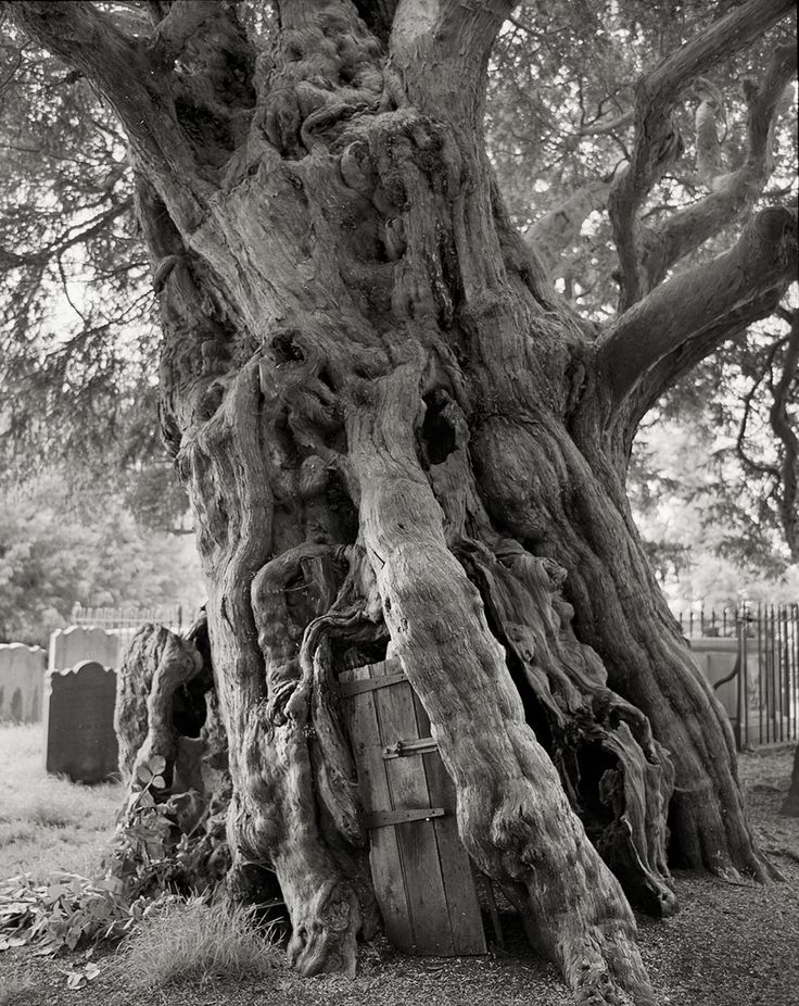 The Most Ancient and Magnificent Trees From Around the World