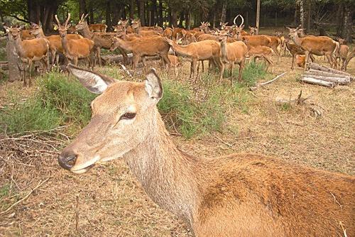 Vos enfants aime Bambi ? ils adoreront approcher les biches d'Ecosse.  Elevage de Picarel à Saissac (Aude / 11) #ferme #animaux #nature #famille #balade #BaLaDO