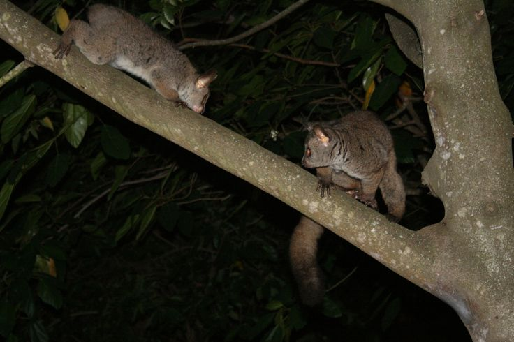 Galagos, also known as greater bush babies or nagapies (little night monkey in Afrikaans). They have large, thick toe pads to hep them grip branches and mark their territories by urinating on their feet to leave markings as they move through trees