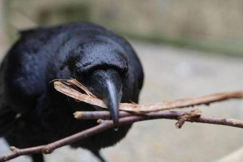 Colaboración avanzada entre cuervos, y también presencia de vividores — Noticias de la Ciencia y la Tecnología (Amazings® / NCYT®)