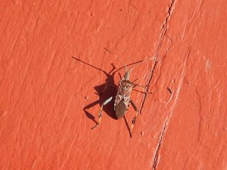 Coastal BC Insects: Western Conifer Seed Bug -- Margy