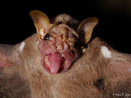 """The wrinkle faced bat.  This fruit eating species is found in Mexico and Central America, where it is known as """"murcielago viejito"""" (""""old man bat"""") or murcielago zopilote (""""vulture bat""""), due to its naked, wrinkly face. They have a large flap of skin that they use as a mask to cover their face when they sleep."""