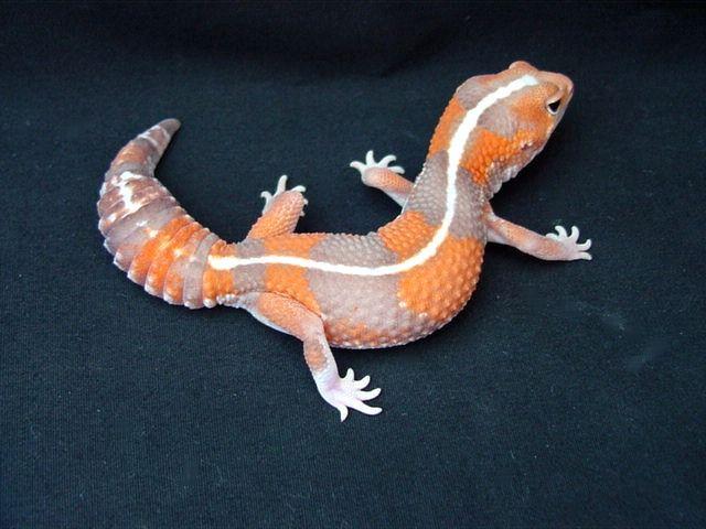 Striped Tangerine Albino African fat-tailed gecko. Shoooo kiut!