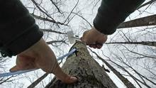 Ben Fisk hammers a tap and collection tube into the trunk of a maple tree at a timber stand in New Hampshire in February, 2012. (Charles Krupa /AP)