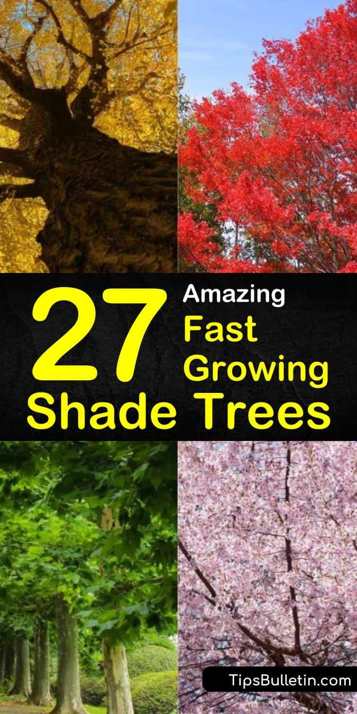 27 Amazing Fast Growing Shade Trees Fast Growing Shade Trees