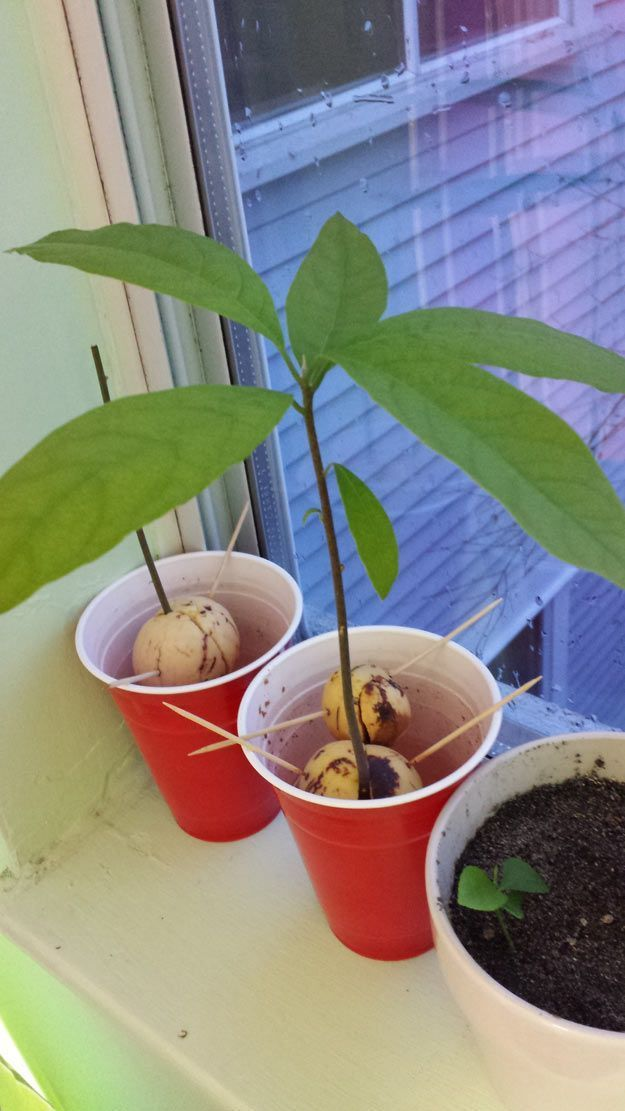 how to grow an avocado pit into a tree