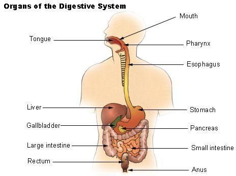 best 25+ human digestive system ideas on pinterest | get revising, Sphenoid
