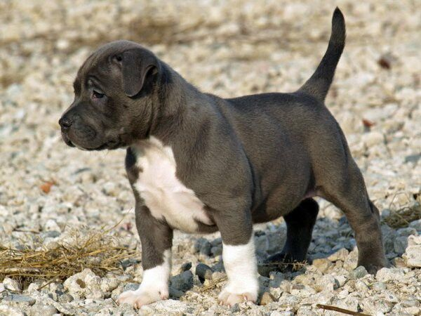 Petit Pitbull Deviendra Grand Pitbull Puppies Blue Nose Pitbull Puppies Pitbull Puppy
