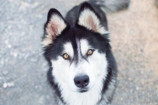 Scottsdale Az Siberian Husky Meet Zeus A Pet For Adoption