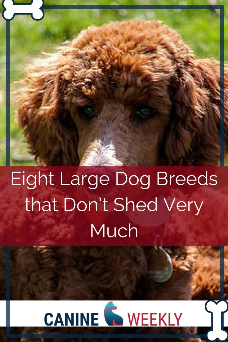 13 Big Dogs That Don T Shed Large Non Shedding Dog Breeds Dog Breeds Large Dog Breeds Beautiful Dog Breeds