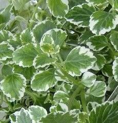 """Swedish Ivy Botanical Name: Plectranthus species """"Swedish ivy house plants are ideal for beginners. Nearly foolproof, this is one of the easiest types of ivy to grow indoors. In fact, it needs little attention to thrive."""""""