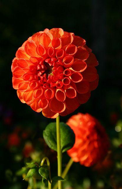 Dahlia red orange