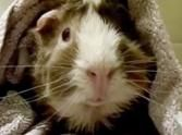 Enjoy the gift that is this day by smiling! This video of a funny talking guinea pig is sure to put you in a good mood. He is hilarious!