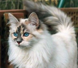 The Siberian is a domestic cat breed from Russia.The Siberian is very dog-like. They are loyal cats that will come to greet you.They are a friendly breed, good with dogs, energetic, and smart.