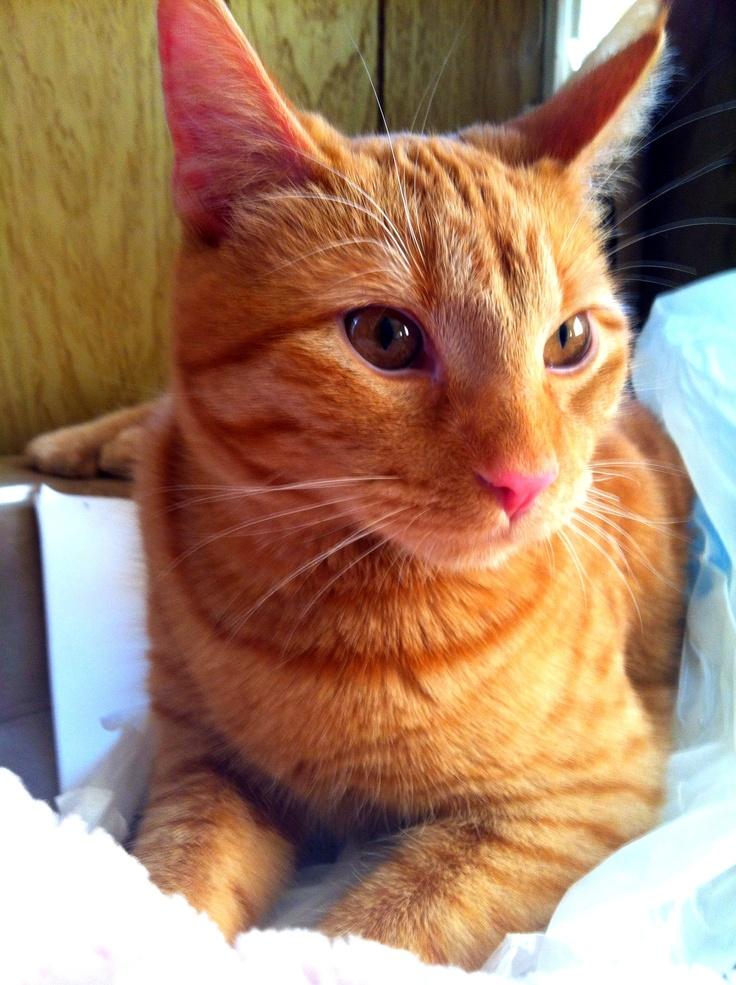 Orange tabby and Siamese mix ... He definitely looks full ...