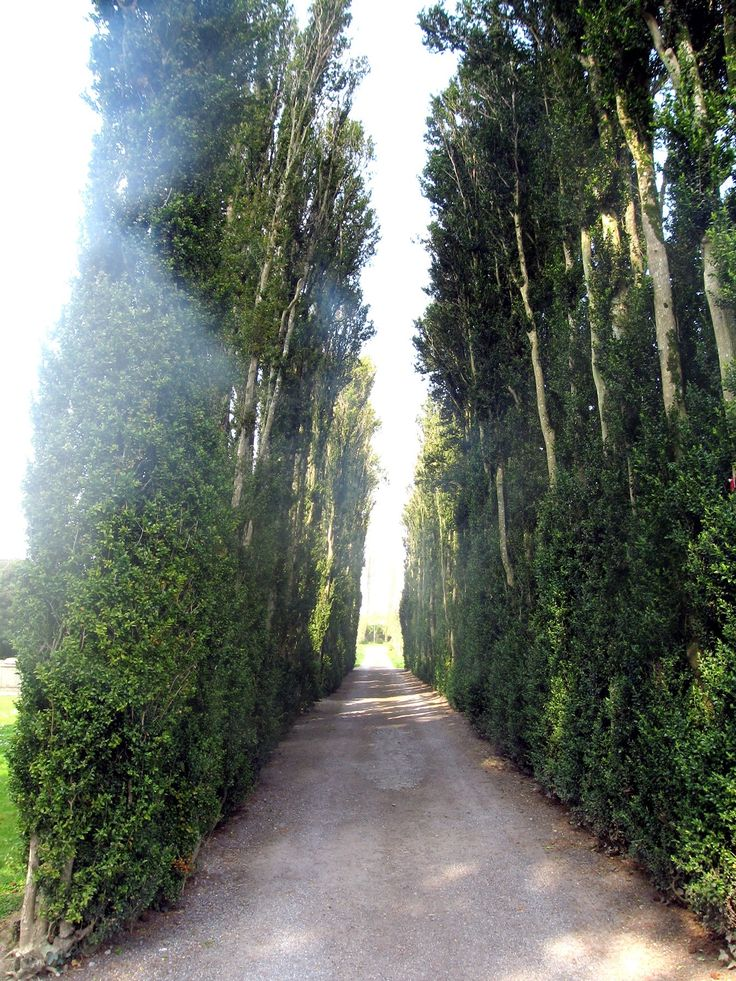 Tallest Box Hedges in the World at Birr Castle Gardens