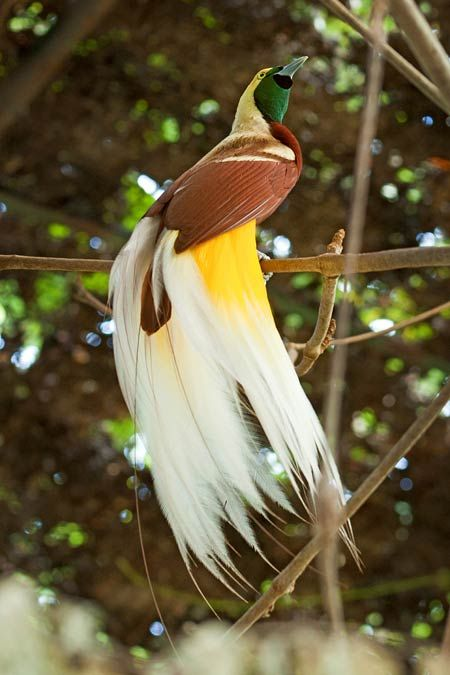 Beautiful Picture of Cendrawasih - #animals #birds