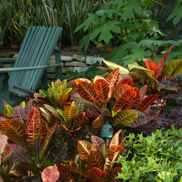 Tropical Plants Do Well In Texas Garden By Pool. The Striking Foliage Of A  Croton Provides Year Round Color For Your Landscape.