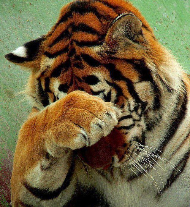 фотография обиженный тигр фото девушка собирала