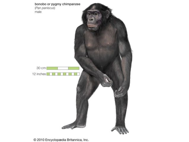 Α΄ ξαδέρφια (2 είδη)            1st cousins (2 species)              Genus Pan•   1. Common Chimpanzee, (Pan troglodytes)•...