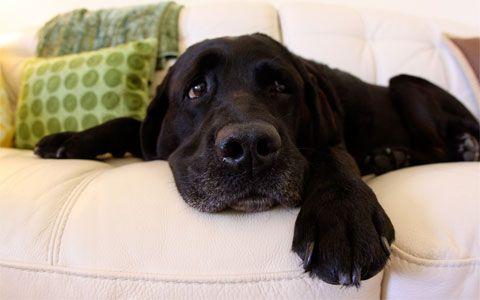 Razas De Perros Medianos Para Departamento. Raza de perros medianos para departamento  Si no cuentas con una casa grande y cómoda y estás pensando en comprarte una mascota, y por lo contrario tienes un pequeño departamento, pero aún tienes ese gran corazón de ser un Dog Lover, o amante de perros, pues este se articuló se ha hecho especialmente para ti, recuerda que no todas las personan tiene la gran ventaja de tener lugares amplio y no....  Razas De Perros Medianos Para Departamento. Para…