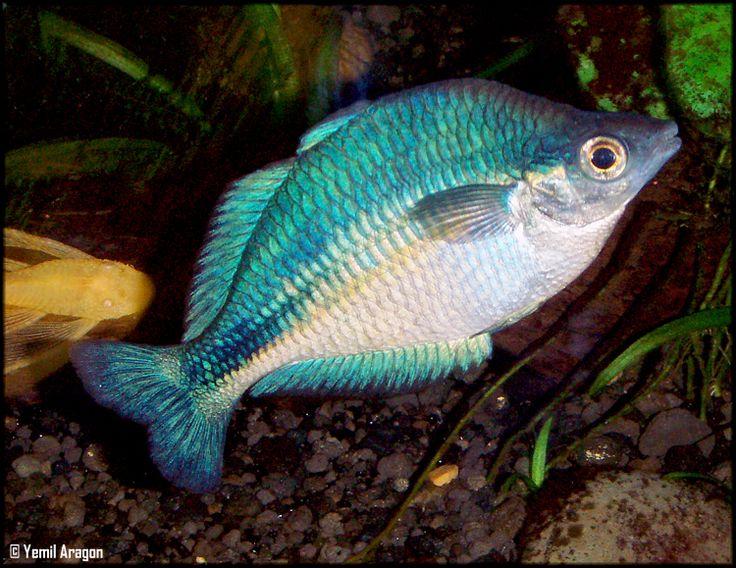 25 best ideas about australian rainbow fish on pinterest for Turquoise rainbow fish