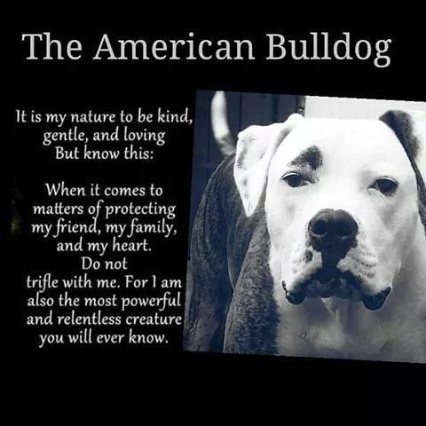 Image result for american bulldog products