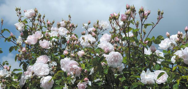 Most Fragrant Climbing Roses