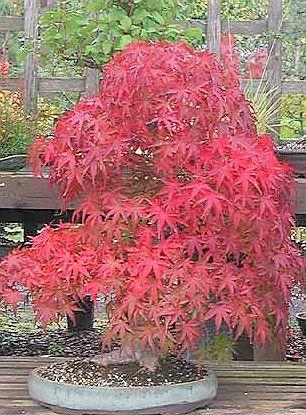 RP: Heirloom Scarlet Maple Acer Rubrum | eBay.com