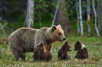 Детям о животных: Бурый медведь