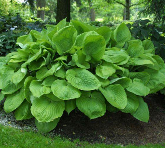 Sum and Substance Green Hosta