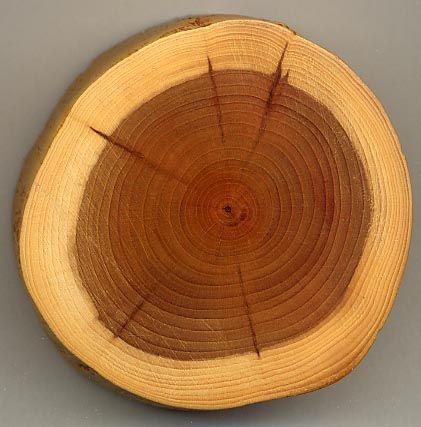 Este tipo de madera se llama TEJO y se utiliza para objetos de decoración y para decorar jardines...