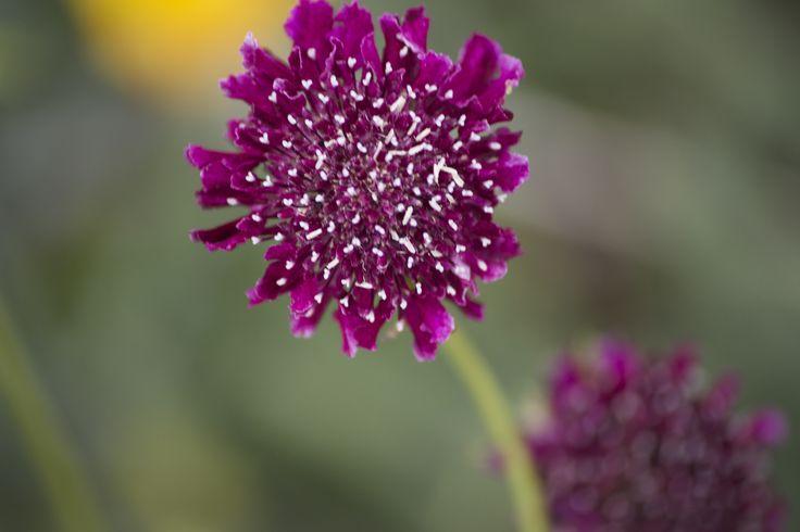 Moana beach flower