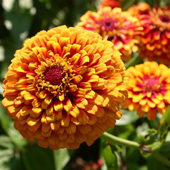 Common Yellow Garden Flowers 44 best top annuals to plant in the summer images on pinterest