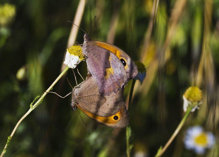 Butterflies copulating | Flickr - Photo Sharing!